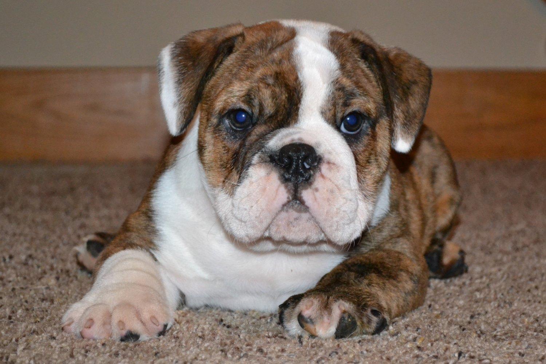 English Bulldog Mix Puppies English Bulldog Mix Pu...