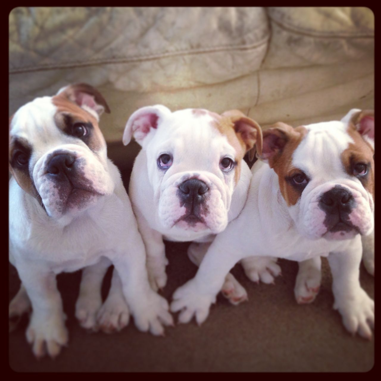 English Bulldog Puppies Picture Under 500