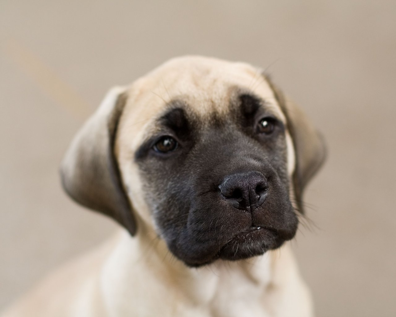 English Mastiff Puppies Picture Ny
