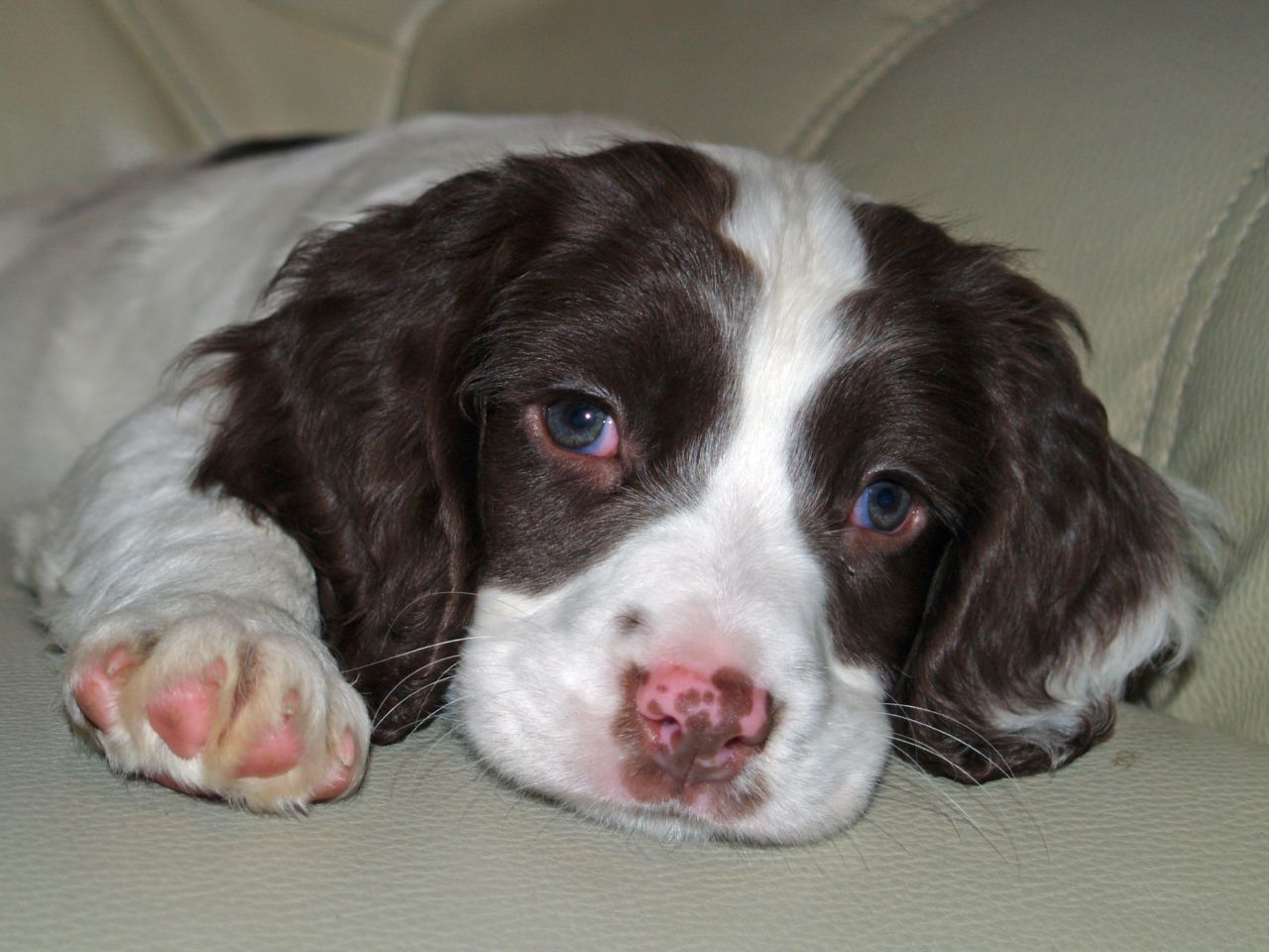 English Springer Spaniel Puppies Picture Wisconsin
