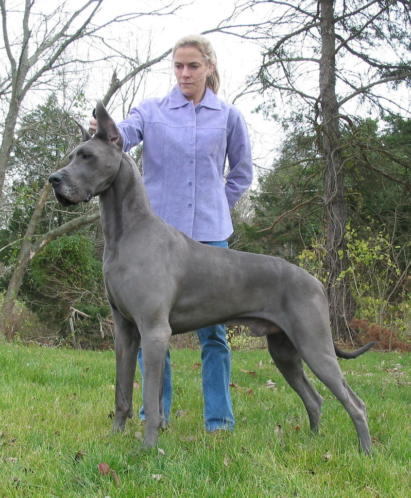 European Blue Great Dane Puppies Picture