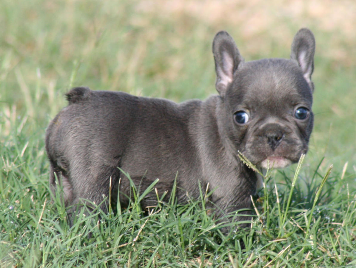 French Bulldog Puppies Picture Arizona