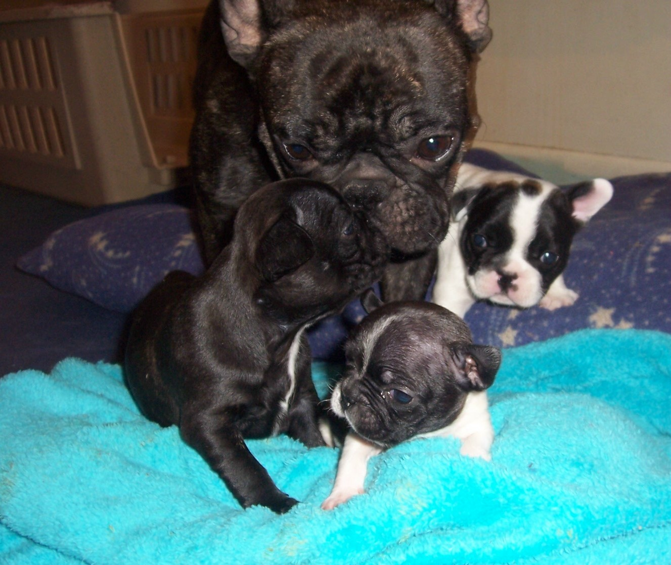 French Bulldogs Picture Kansas