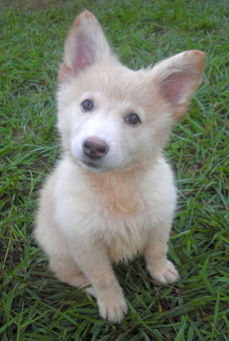 German Shepherd Golden Retriever Mix Picture