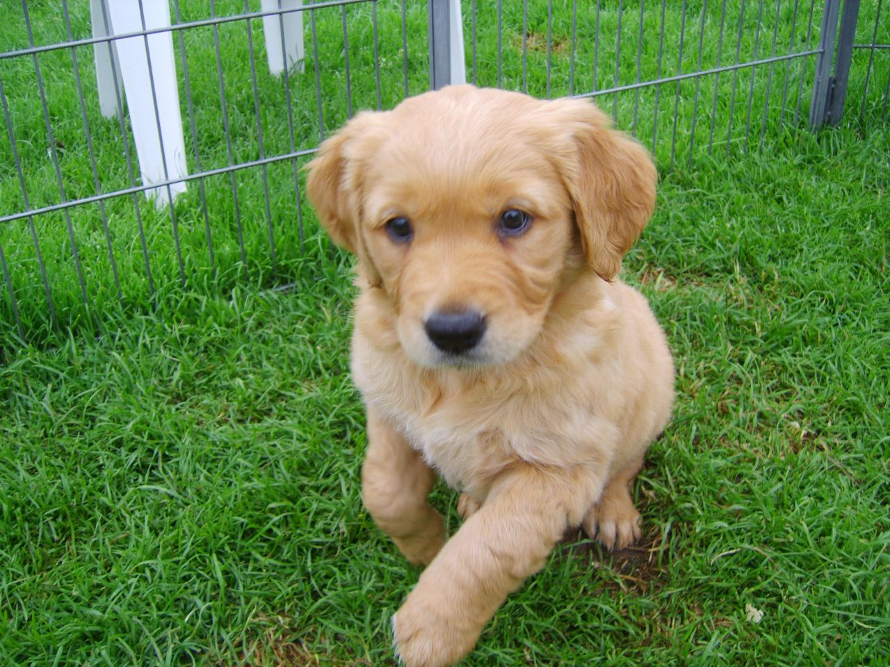 Golden Retriever Puppies Picture Kansas City