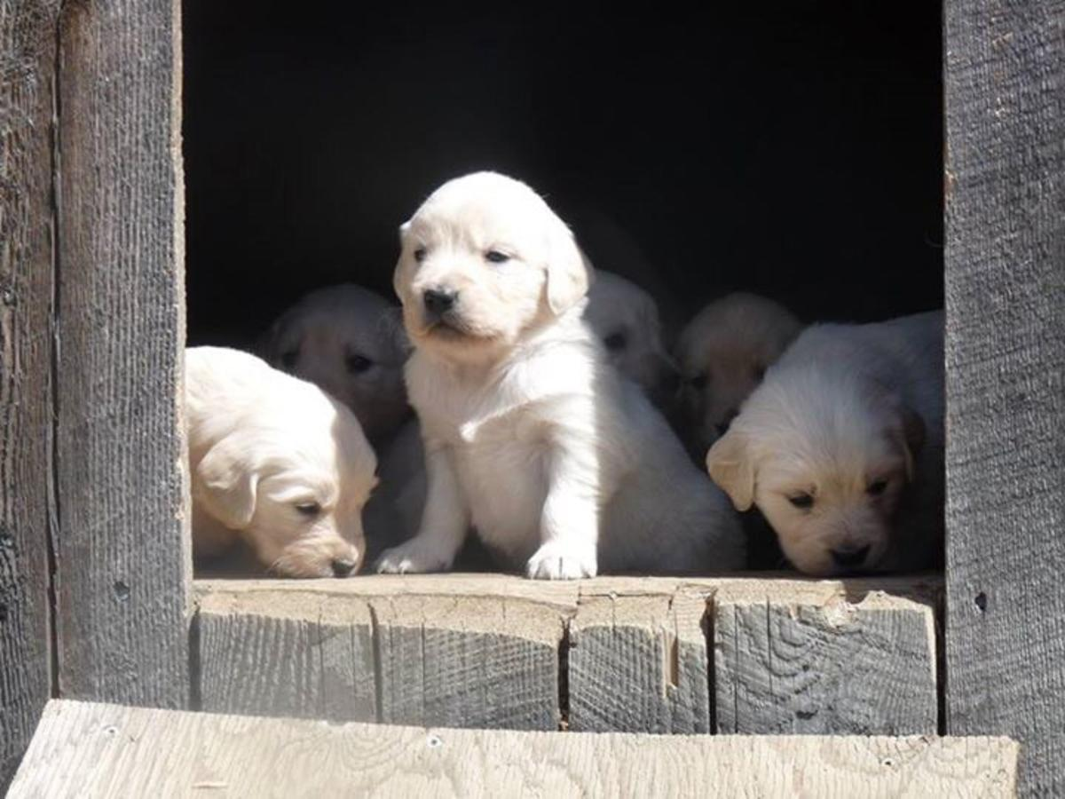 Golden Retriever Puppies Picture Nh