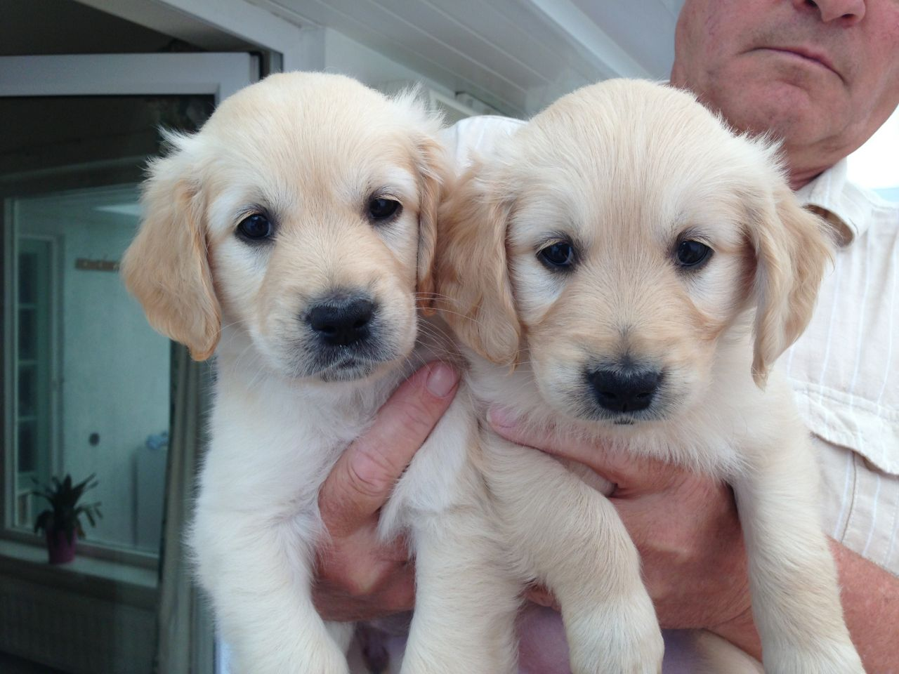 Golden Retriever Puppies Picture San Diego