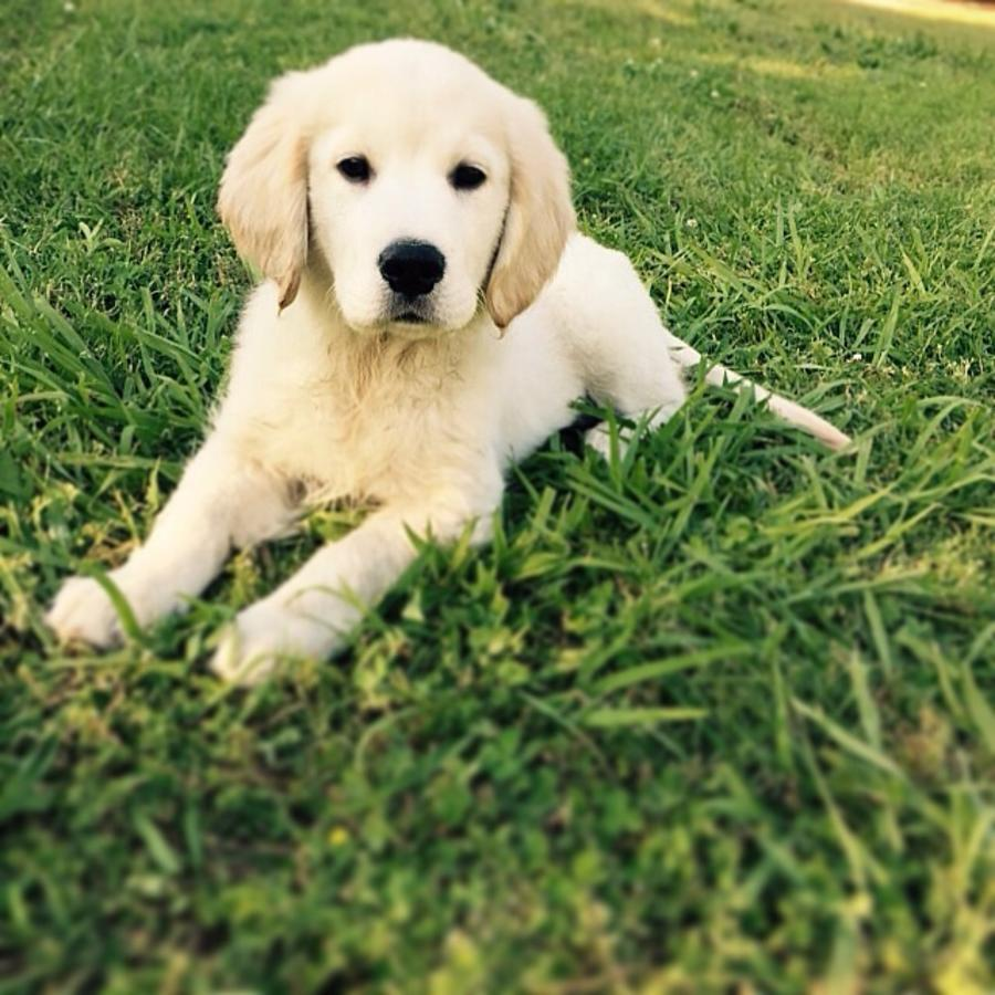 Golden Retriever Puppies Picture South Carolina