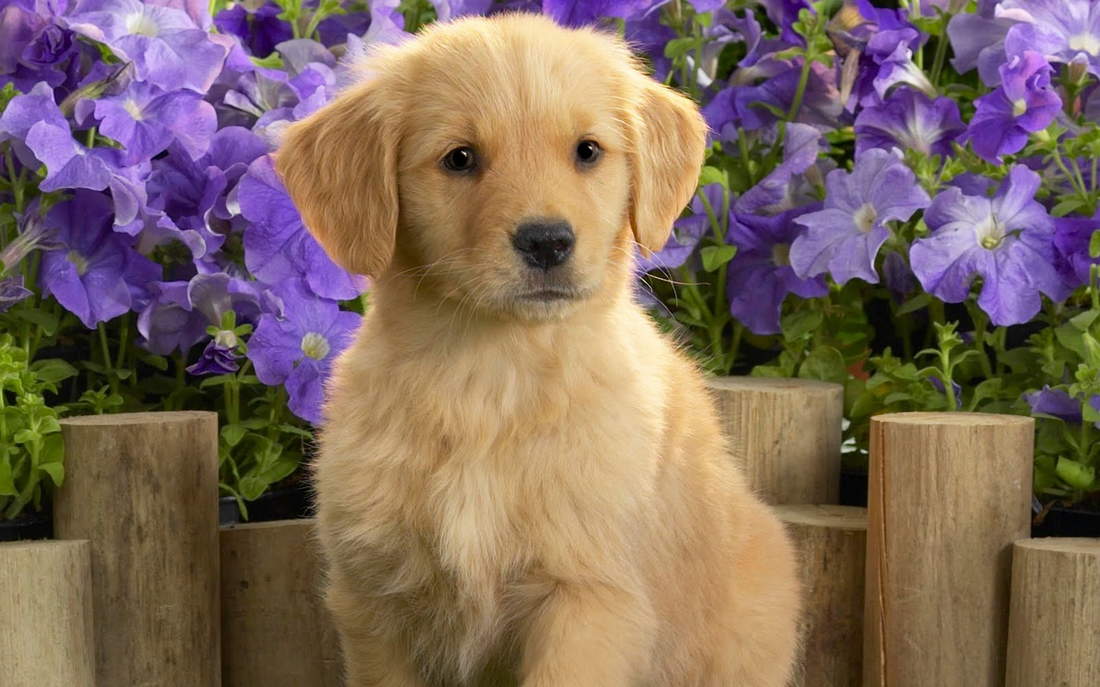 Golden Retrievers Picture Illinois