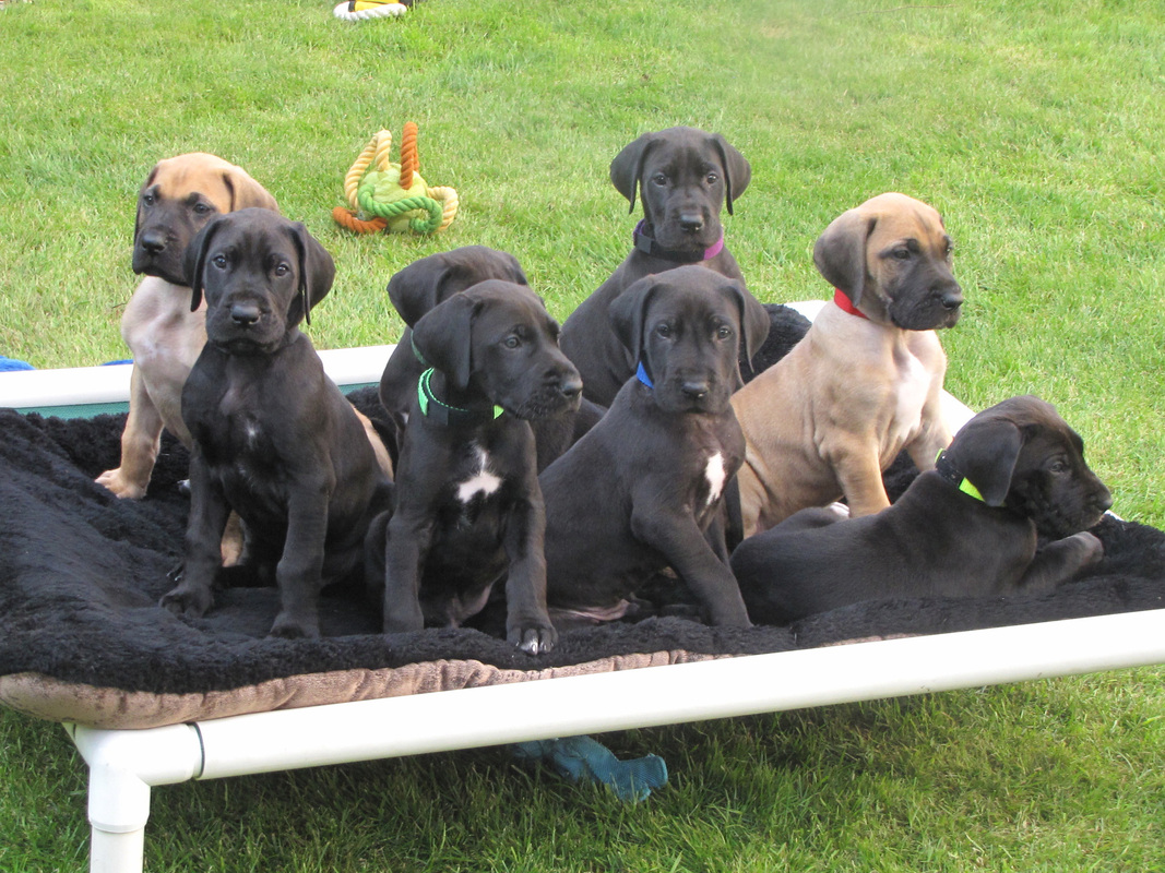 Great Dane Puppies Picture Maryland