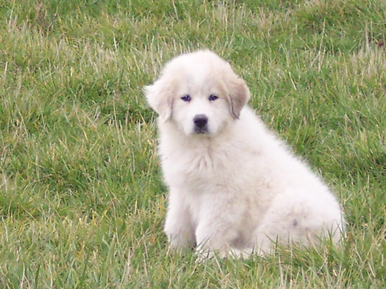 ... Photos - Related Pictures Great Pyrenees Puppies In Berea Kentucky