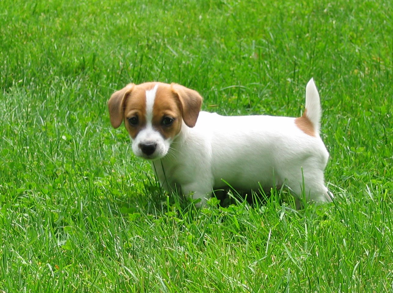 Jack Russell Terrier Picture Florida