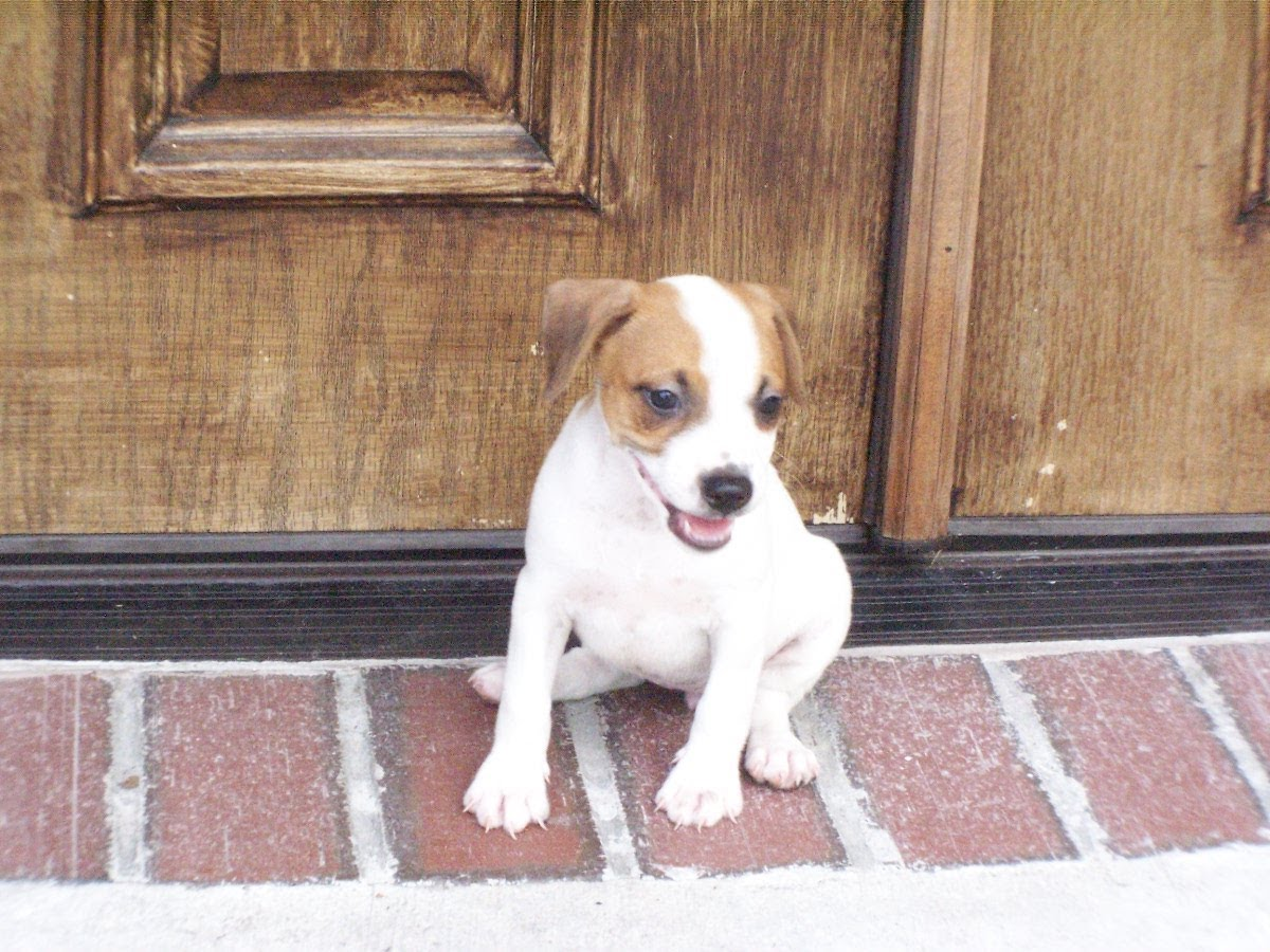 Jack Russell Terrier Picture Michigan