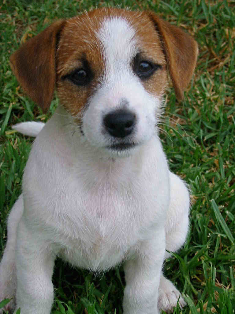 Jack Russell Terrier Puppies Picture Texas