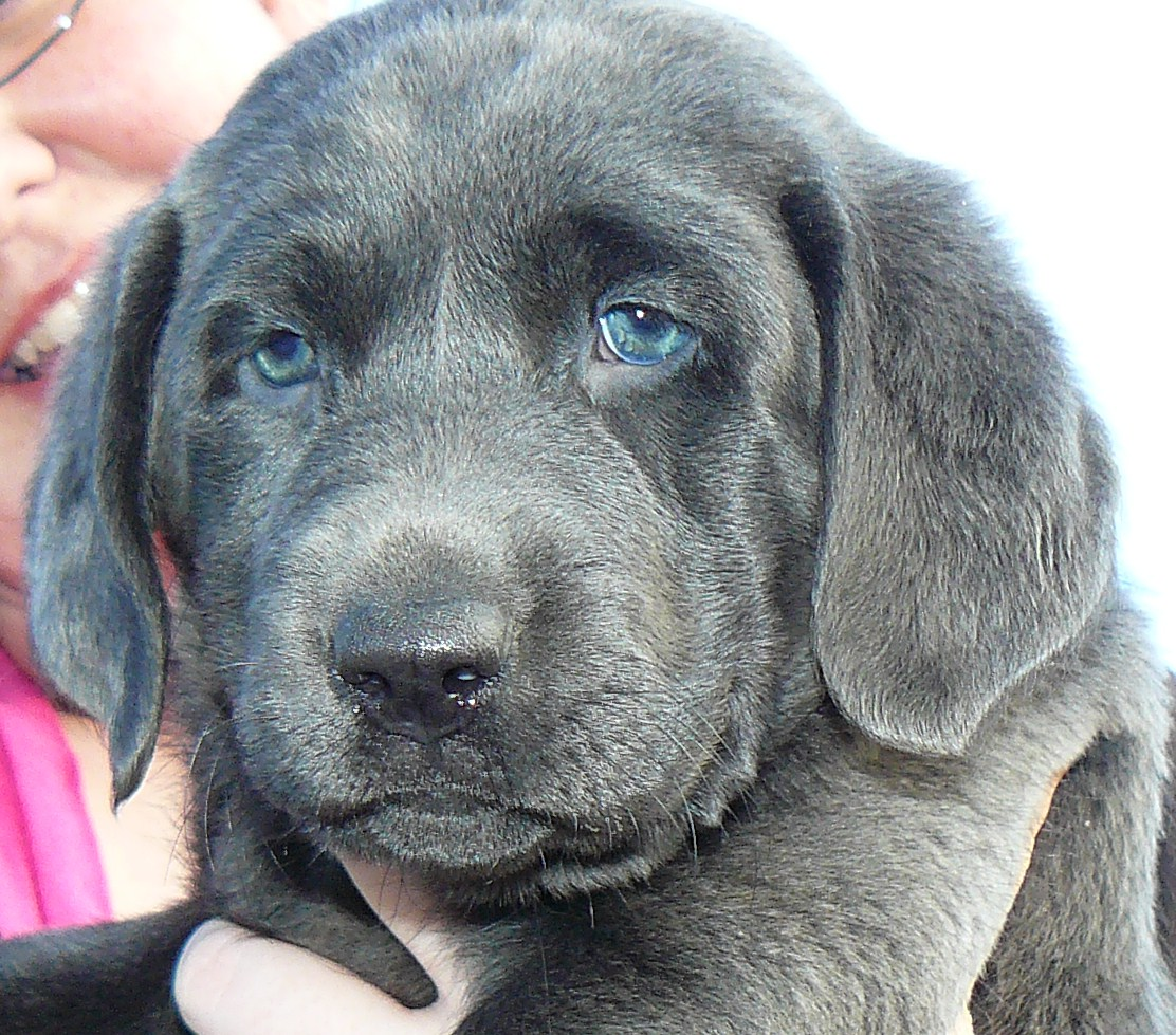 Labrador Retriever Puppies Picture Alabama