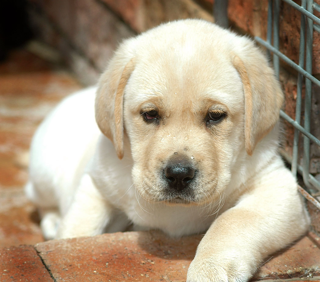 Labrador Retriever Puppies Picture Houston
