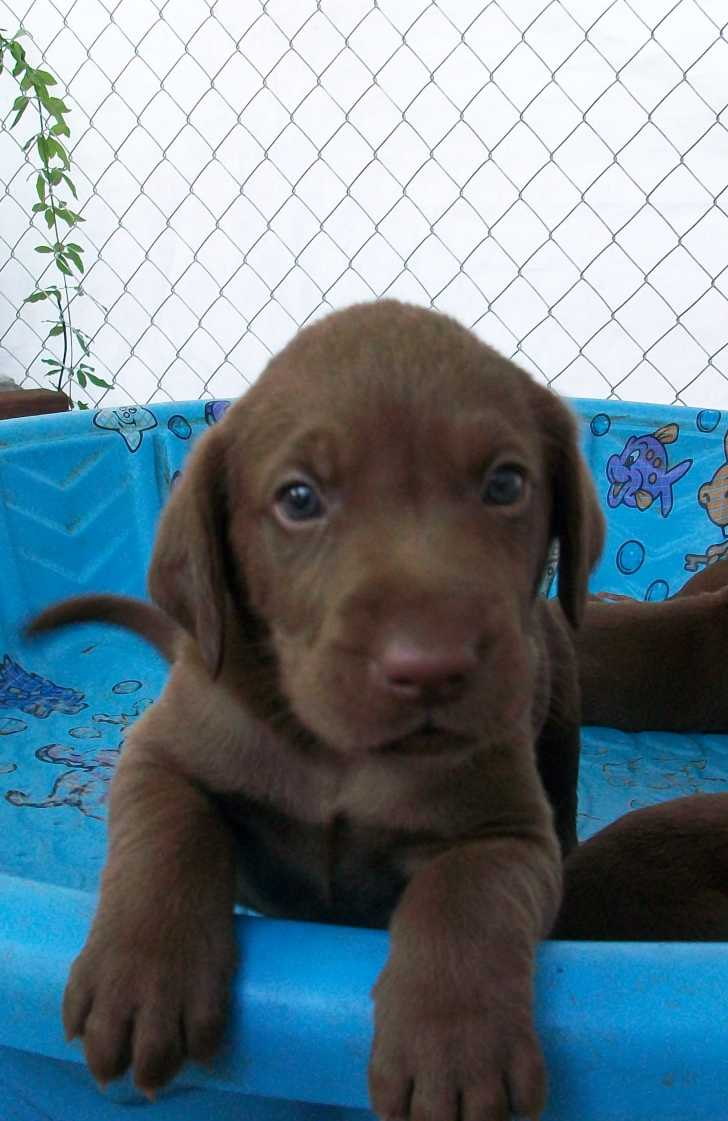Labrador Retriever Puppies Picture Los Angeles