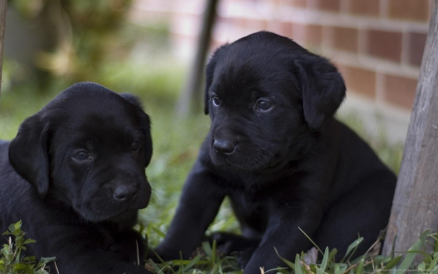 Labrador Retriever Puppies Picture San Diego