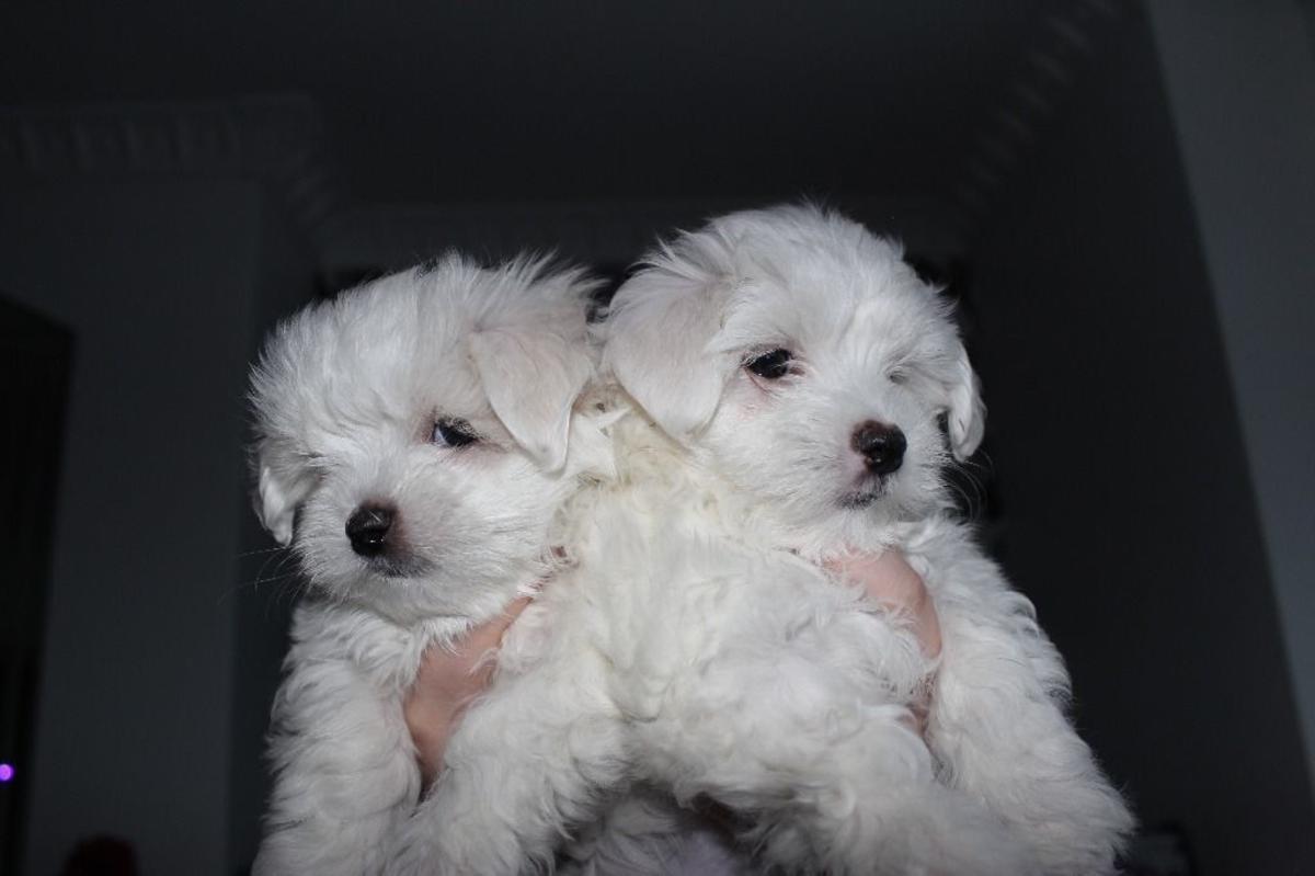 Maltese Puppies Picture Arizona