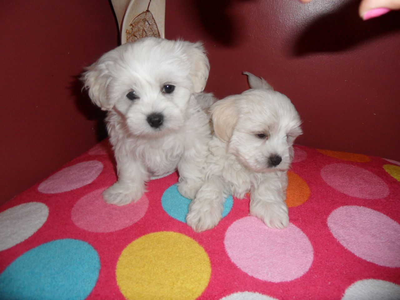 Maltese Puppies Picture Mn
