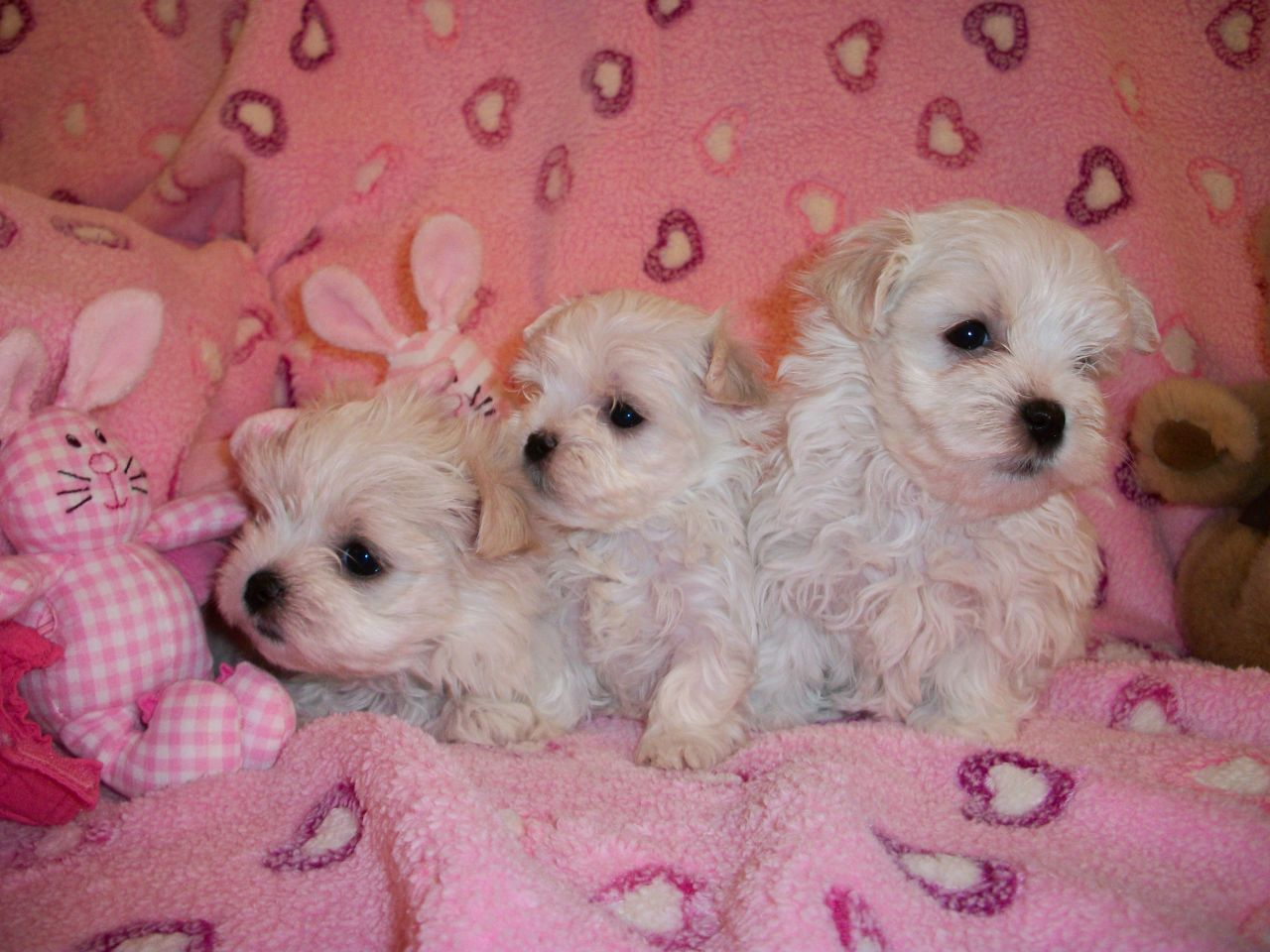 Maltese Puppies Picture Nebraska