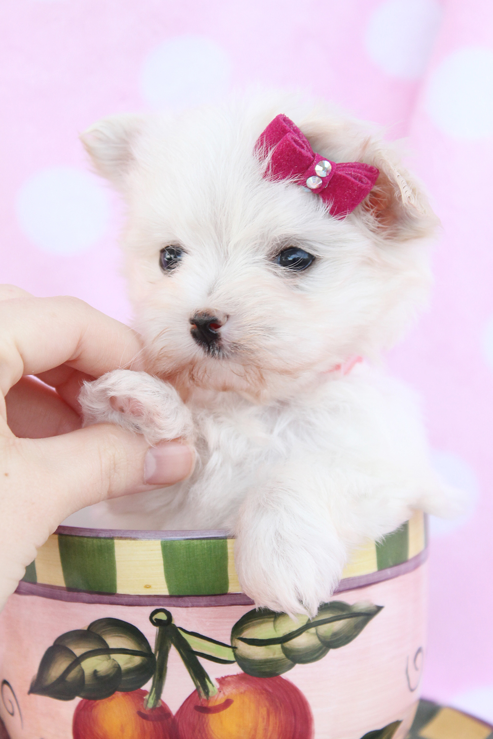 Maltese Puppies Picture South Florida