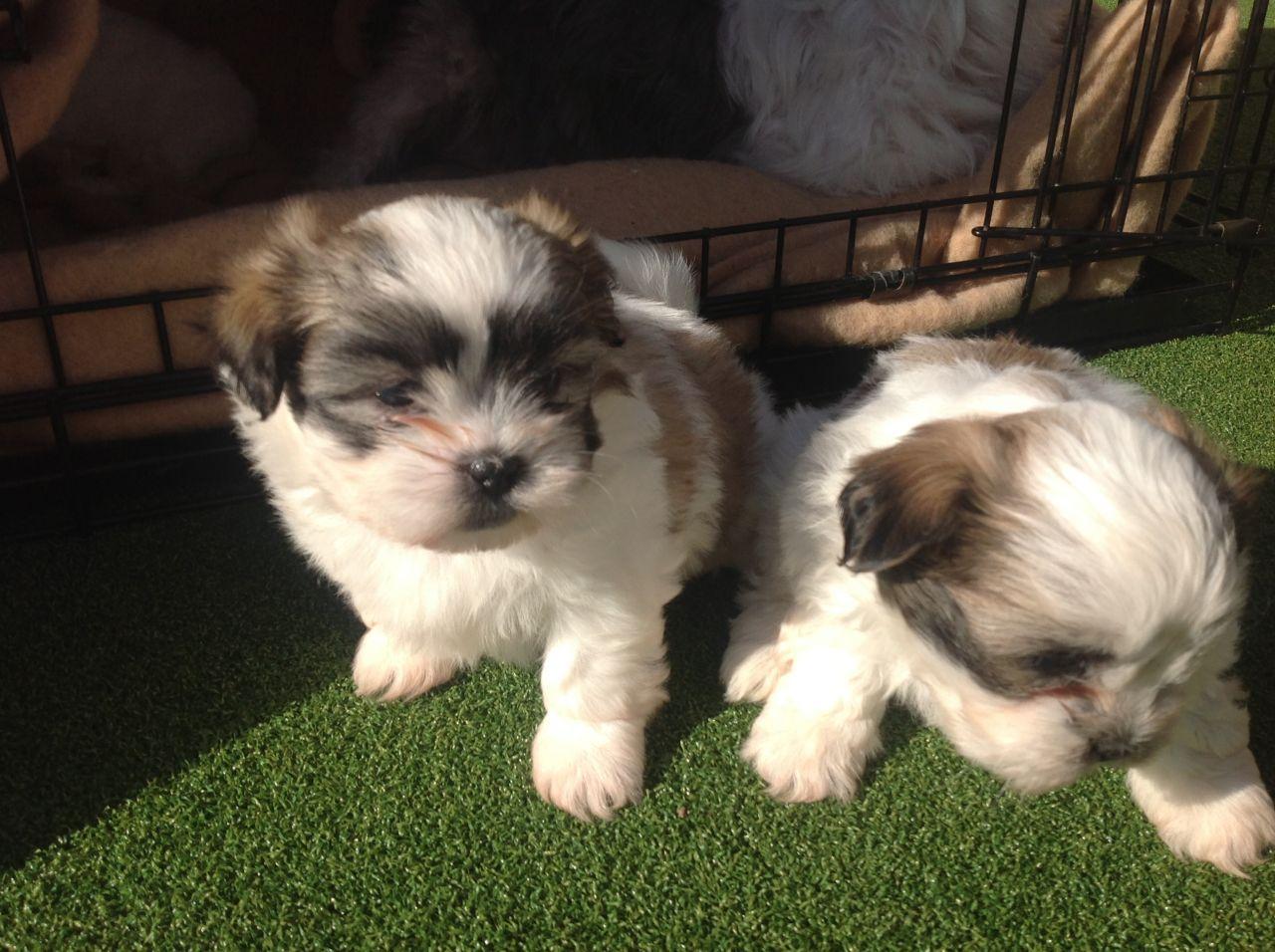 Malti Shih Tzu Puppies Picture