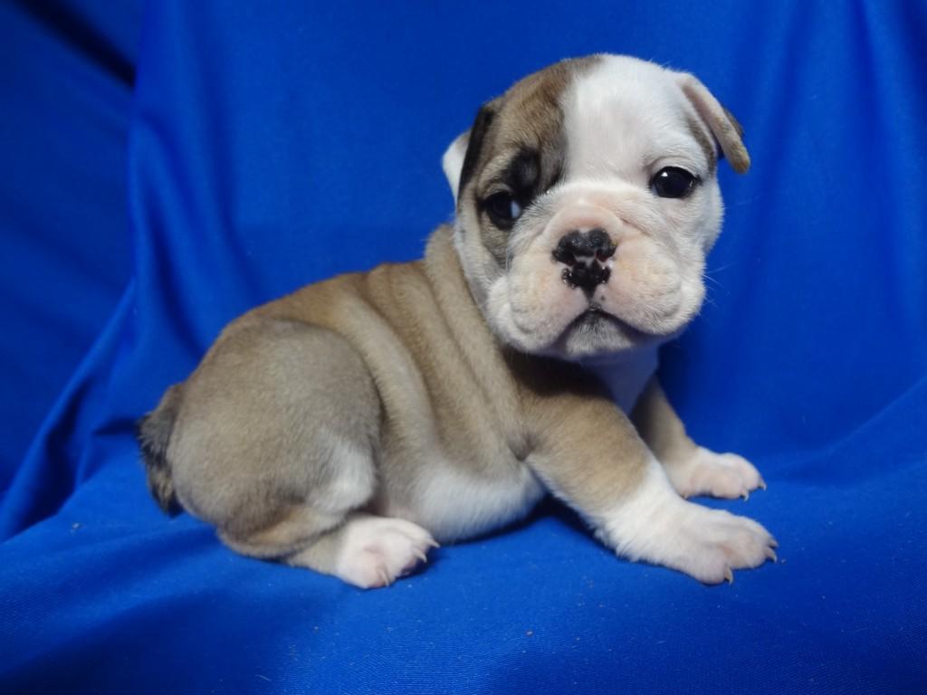 Mini English Bulldog Puppies Picture California