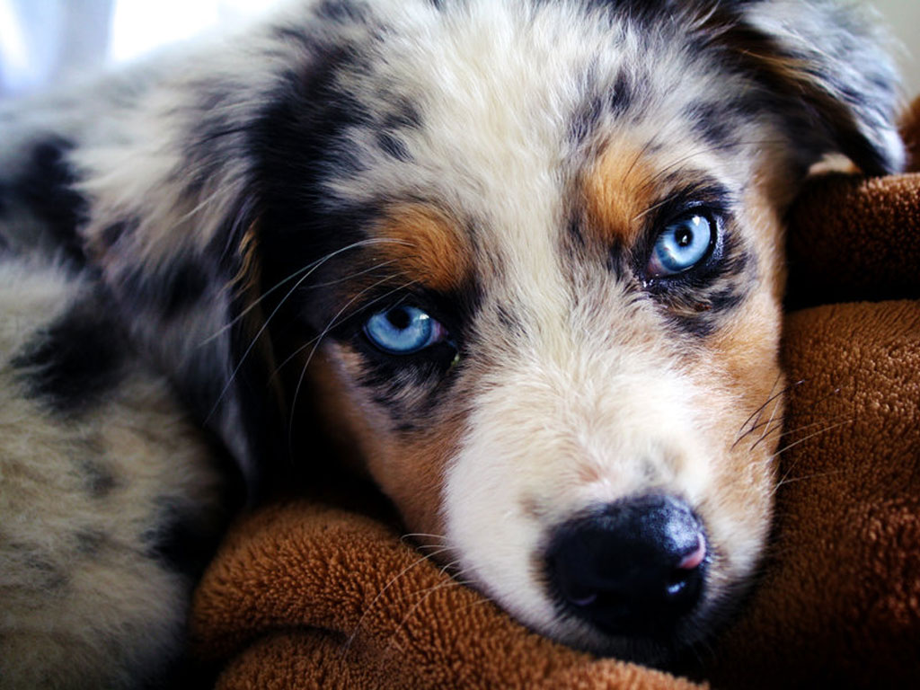 Miniature Australian Shepherd Puppies Picture Oklahoma