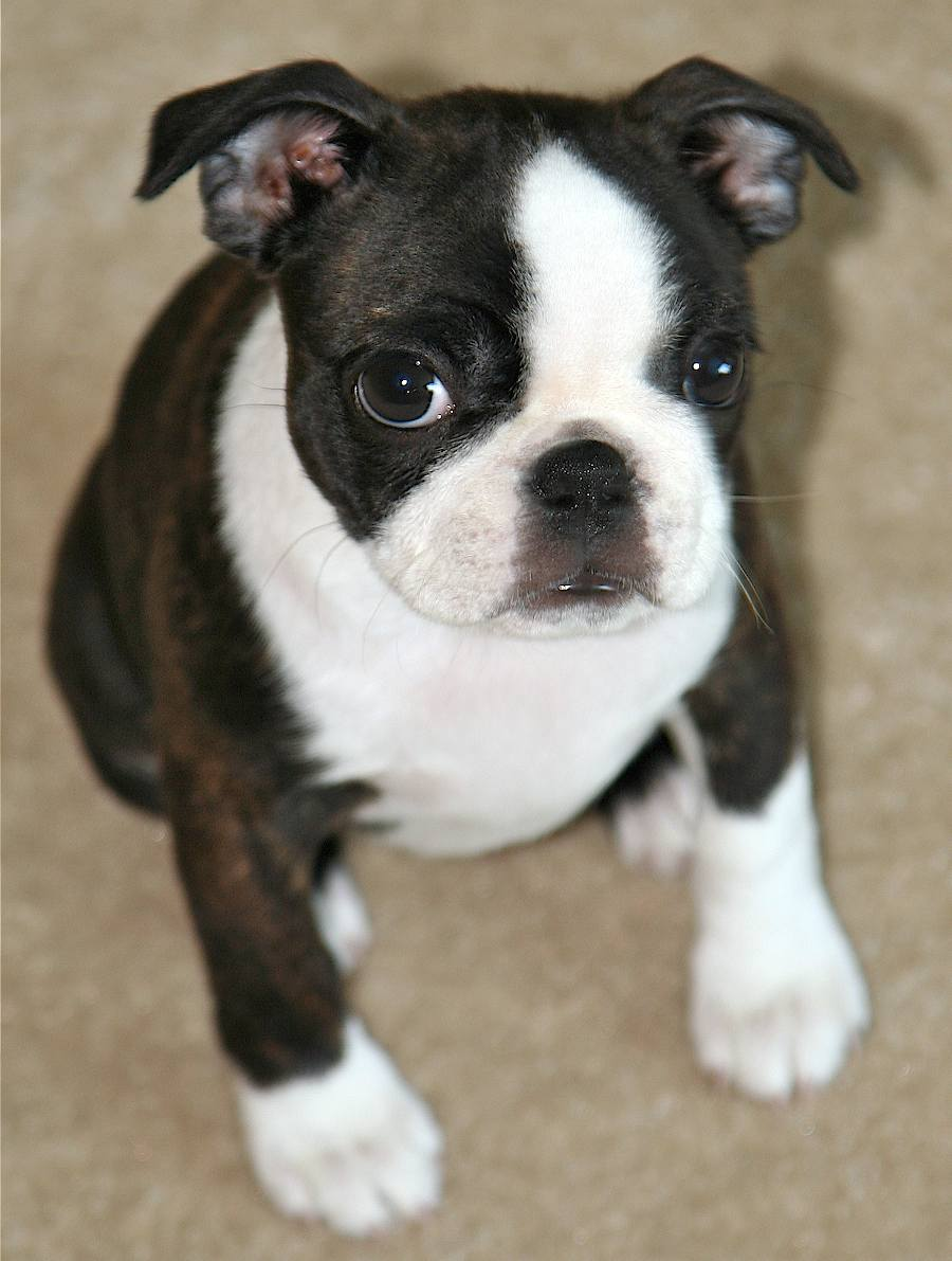 miniature boston terrier miniature boston terrier puppies picture dog breeders guide 209