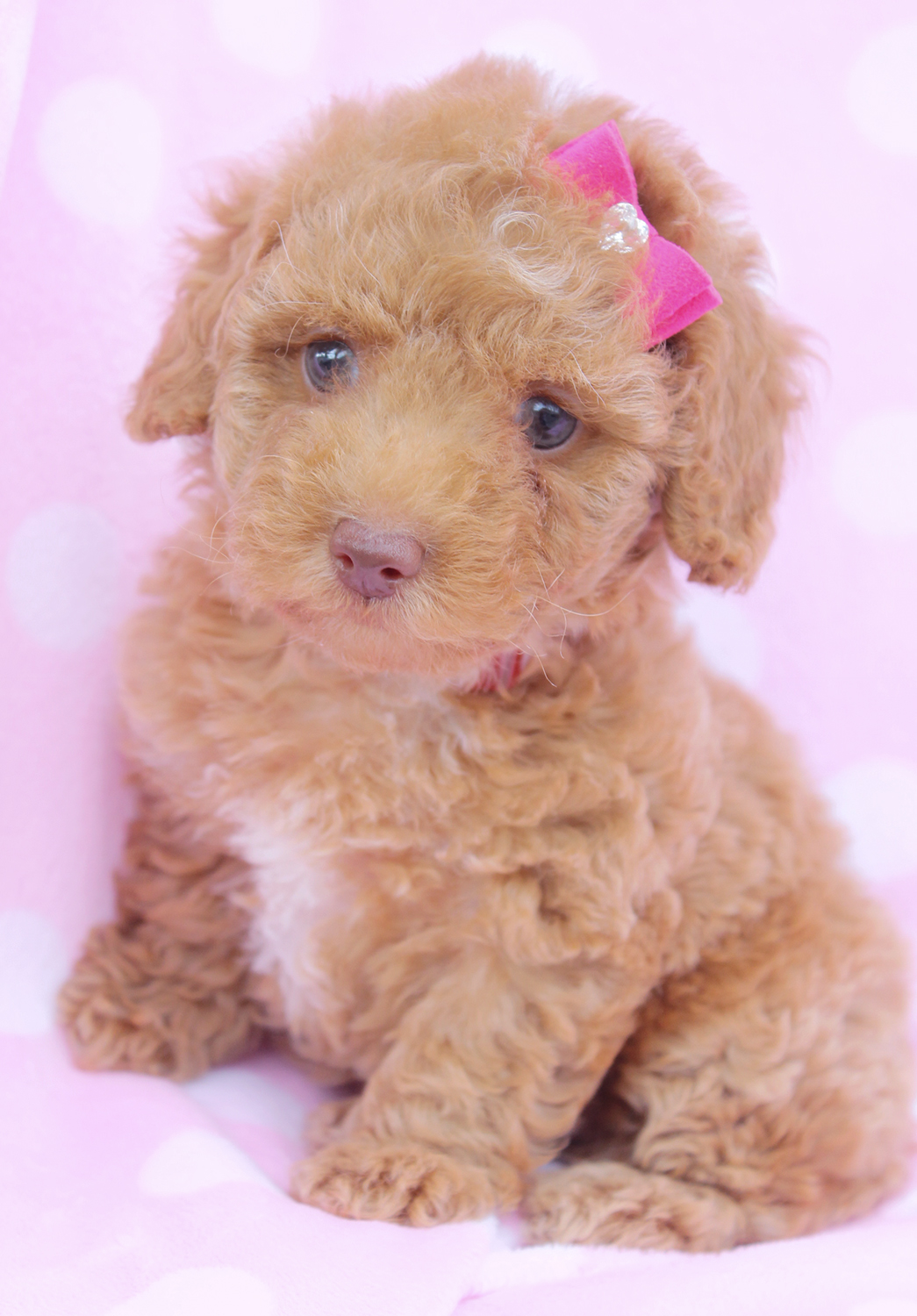 Miniature Poodle Puppies Picture Florida