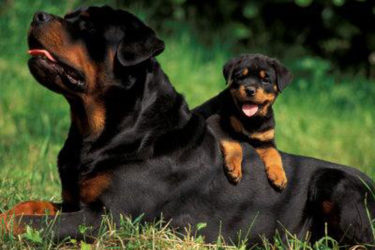 Miniature Rottweiler Puppies Picture