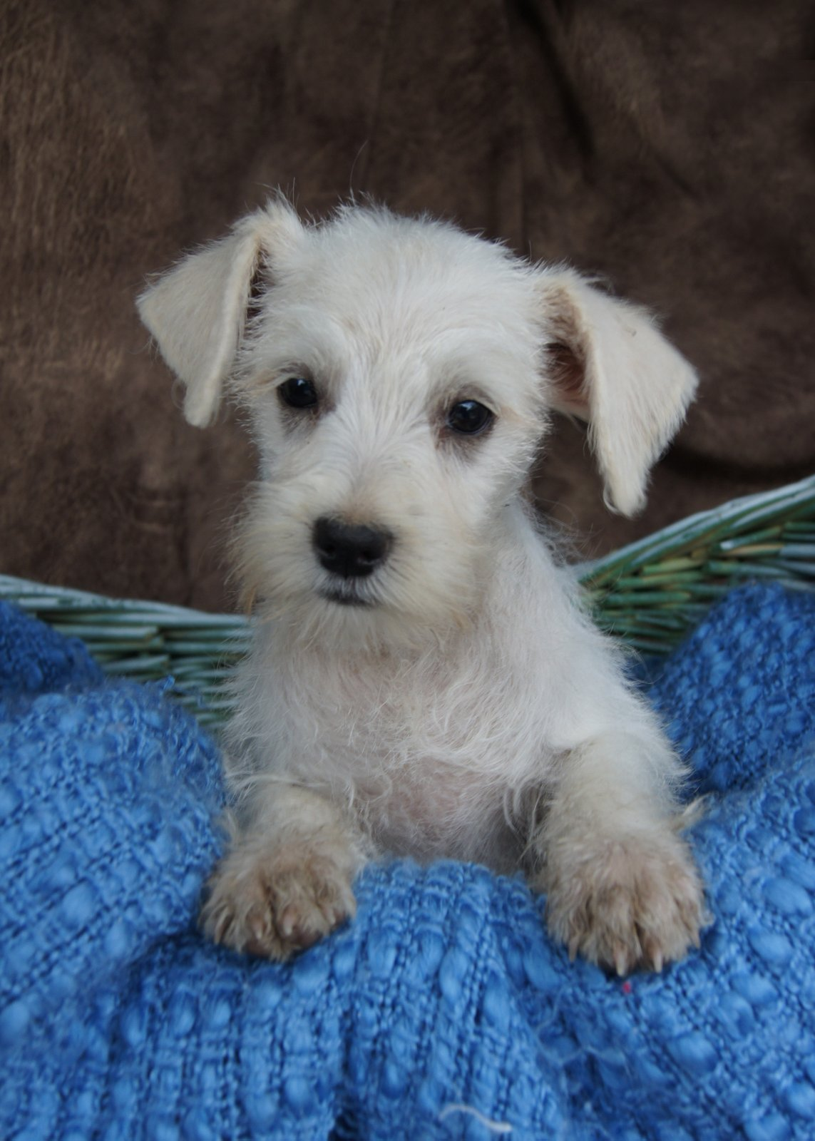 Miniature Schnauzer Puppies Picture Missouri