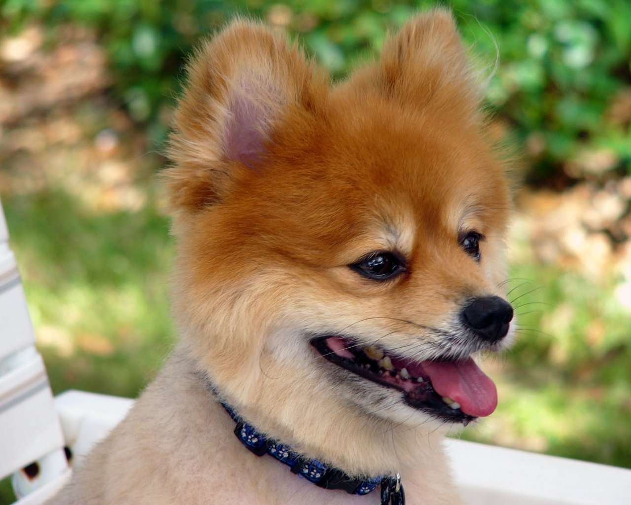 pomeranian breeders ma pomeranian puppies picture massachusetts dog breeders guide 8526