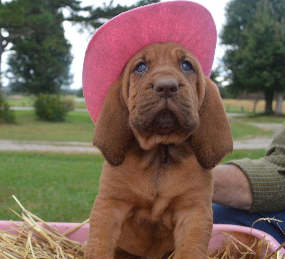 Red Bloodhound Puppies Picture