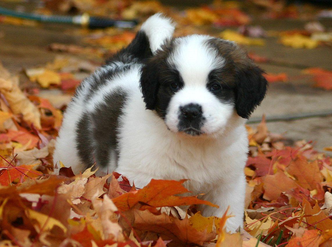Saint Bernard Puppies Picture California