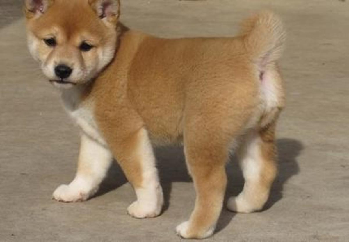 Shiba Inu Puppies Picture Texas Dog Breeders Guide