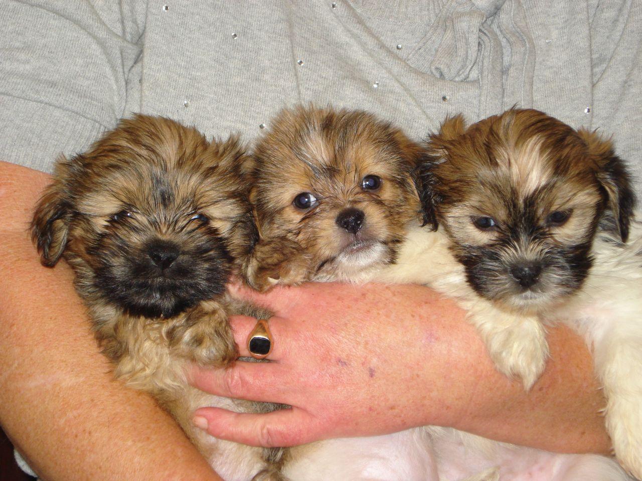 Shih Tzu Pomeranian Mix Puppies Picture