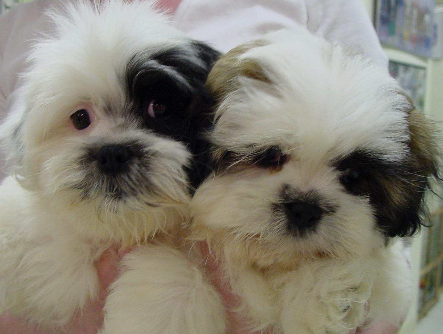 Shih Tzu Puppies Picture Az