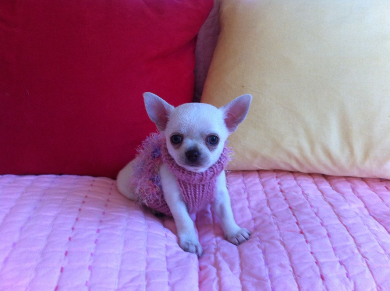 Short Haired Chihuahua Puppies Picture