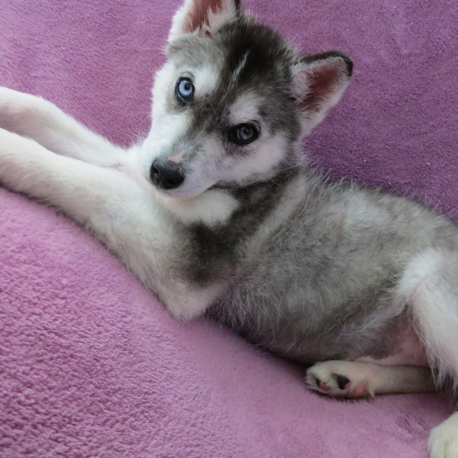 Siberian Husky Puppies Picture Wi