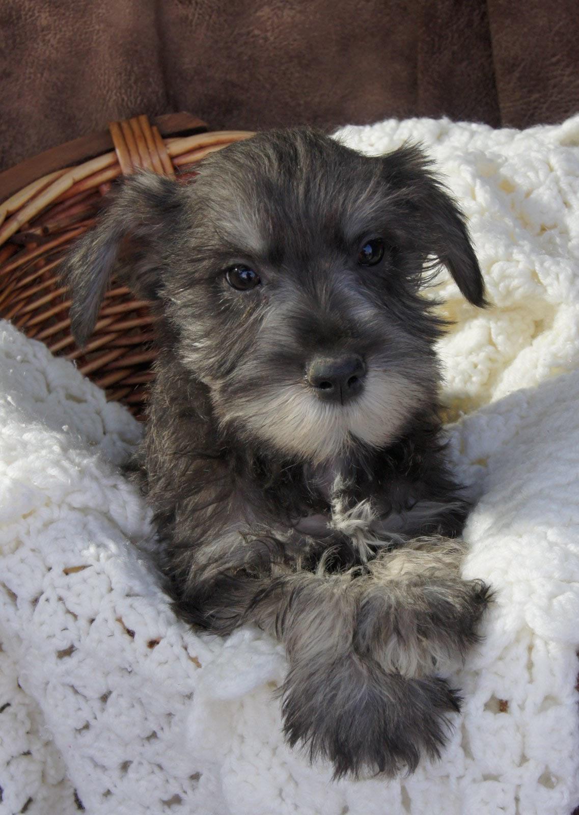 Standard Schnauzer Puppy Picture