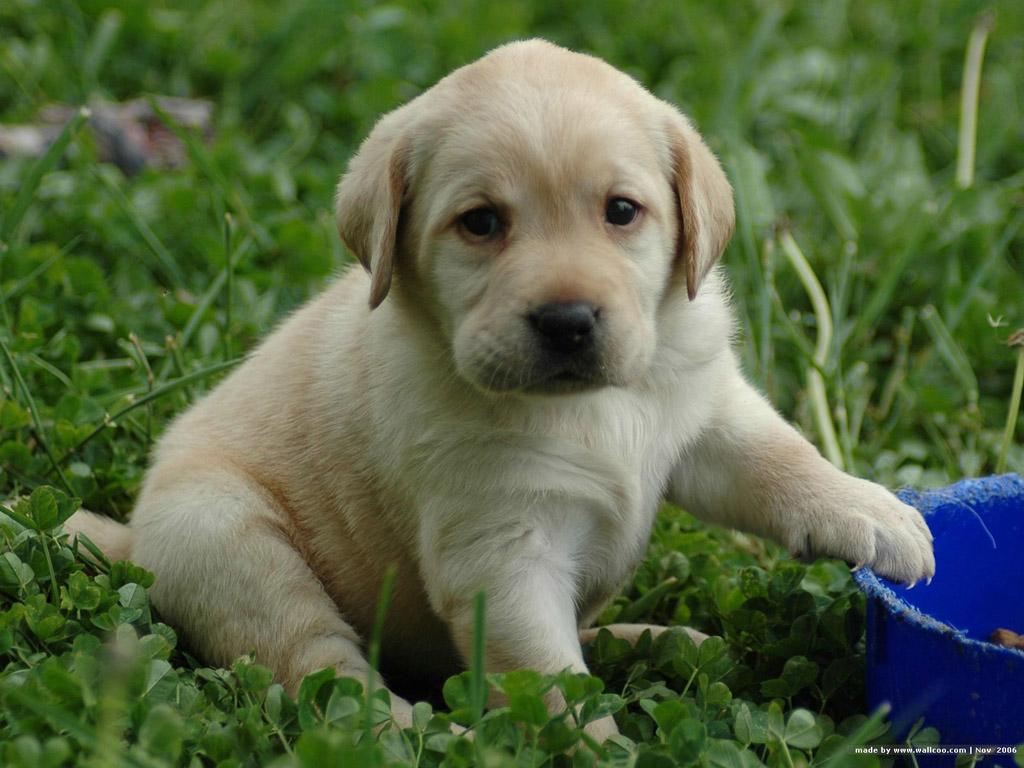 Started Labrador Retrievers Picture