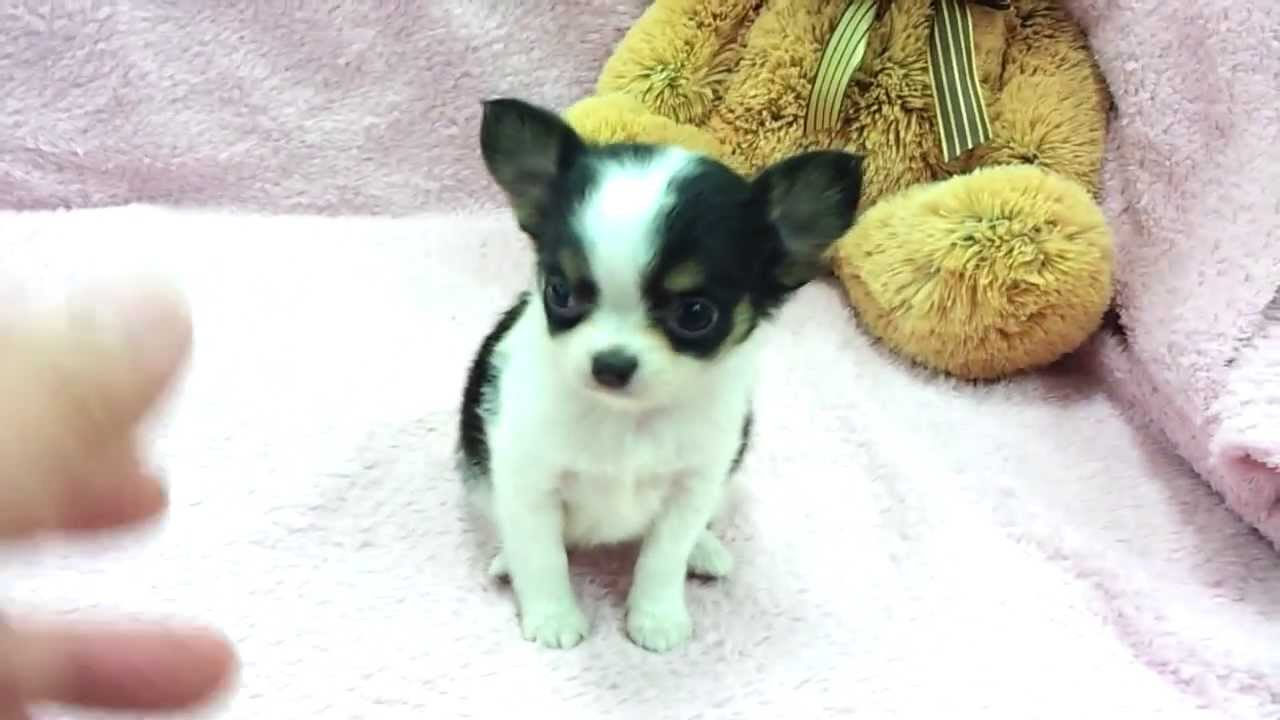 Chihuahua Puppies Picture Virginia