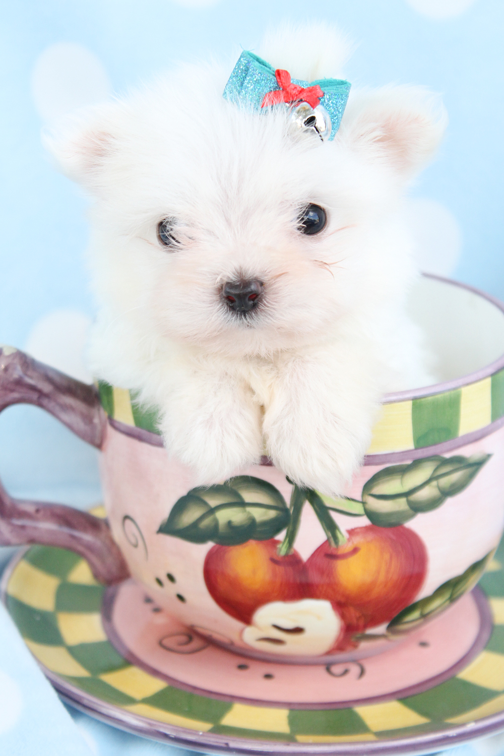 Teacup Maltese Puppies Picture Florida