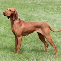 Vizsla-Hunting-Dogs-Picture