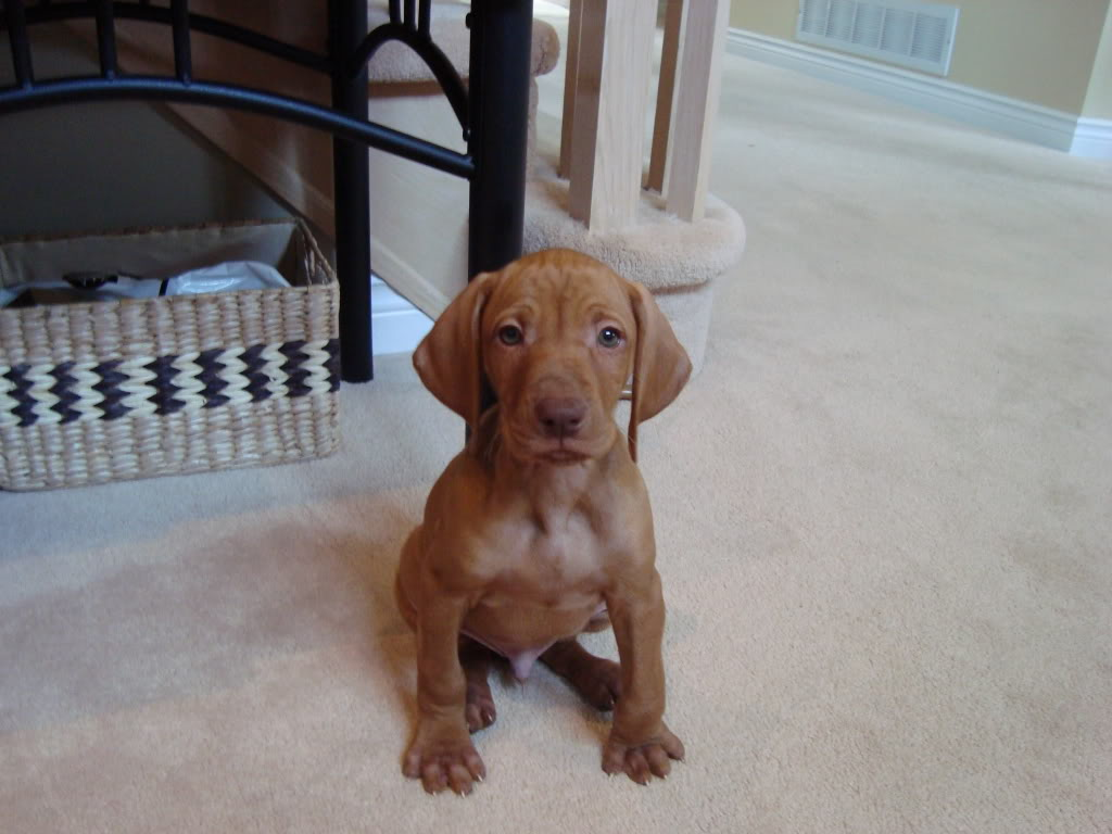 Vizsla Mix Puppies Picture