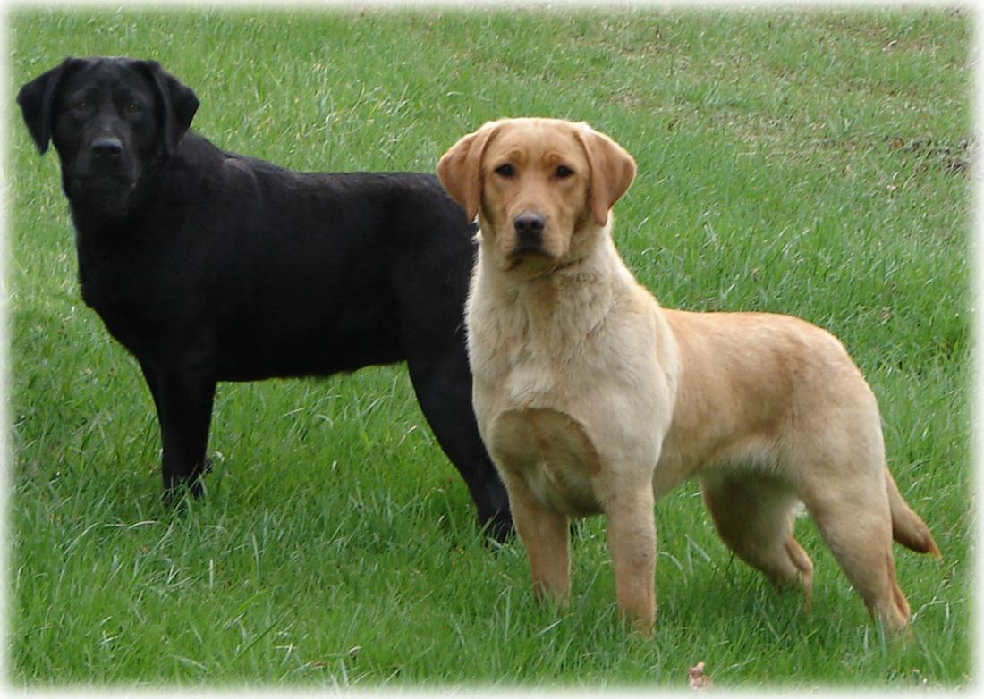 weimaraner lab mix puppy