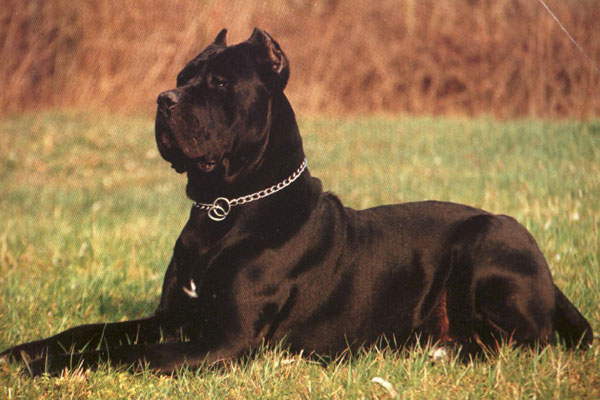Cane Corso Dog Breed Dog Breeders Guide