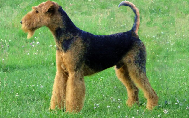Breed Profile: The Witty and Energetic Terrier Group
